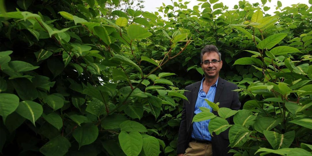 How to deal with Japanese knotweed, the UK's most destructive plant