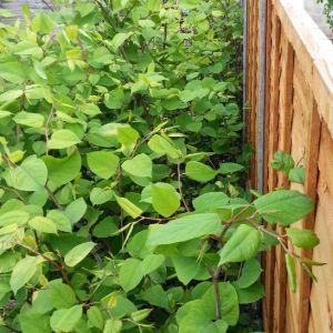 Japanese-knotweed-garden1mb