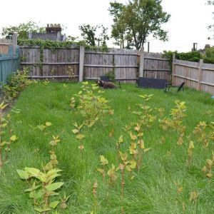 Japanese-knotweed-in-lawn1mb2